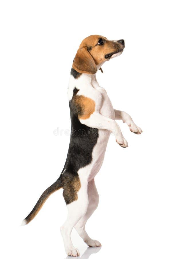 Perro del beagle aislado en blanco imagen de archivo