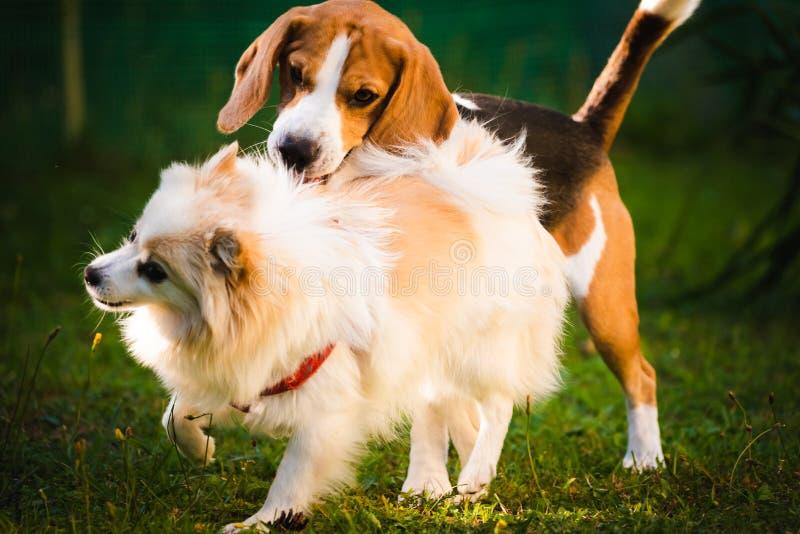 Perro del beagle con el perro de Pomerania pomeranian blanco que juega en una hierba verde fotos de archivo