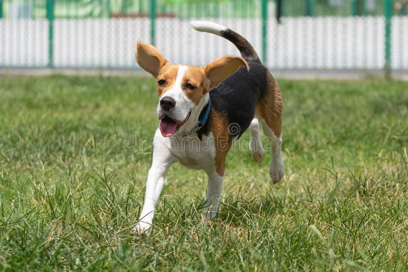 Perro del beagle con el oído flojo que corre en hierba con una cara sonriente feliz imagen de archivo