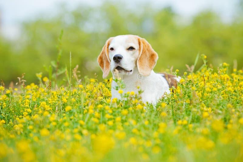 Perro del beagle en campo de flor del verano imagen de archivo