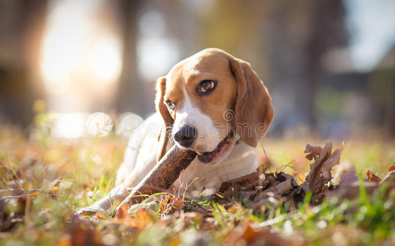 Perro del beagle en el parque que mastica en un palillo foto de archivo