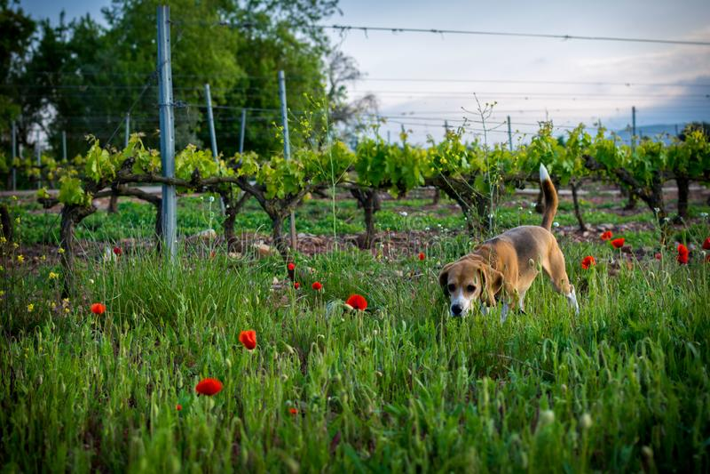 Perro del beagle en flores salvajes de la primavera Amapolas entre viñedo en la puesta del sol fotografía de archivo libre de regalías