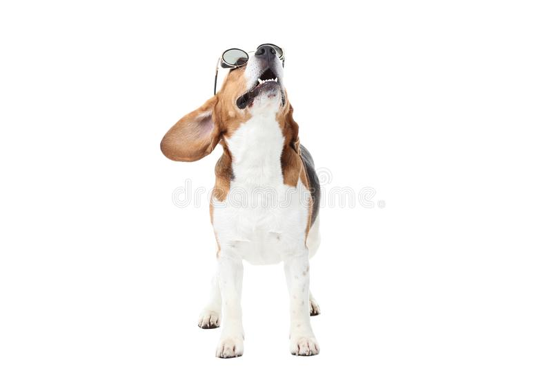 Perro del beagle en gafas de sol imagen de archivo