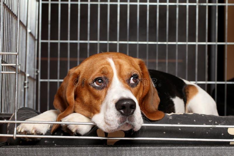 Perro del beagle en jaula fotos de archivo libres de regalías