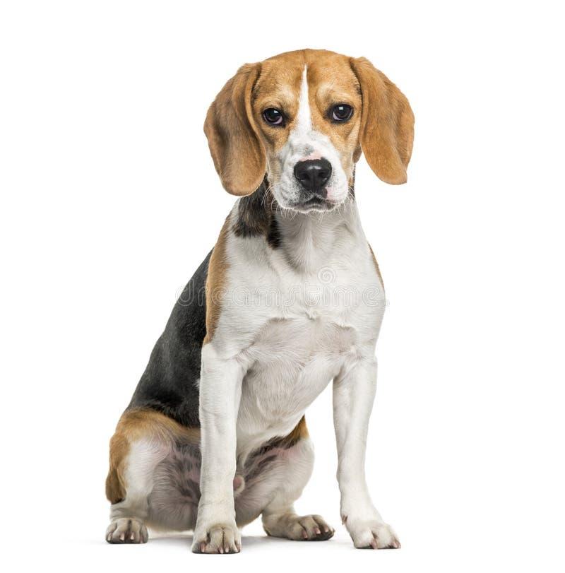 Perro del beagle en retrato contra el fondo blanco fotos de archivo libres de regalías