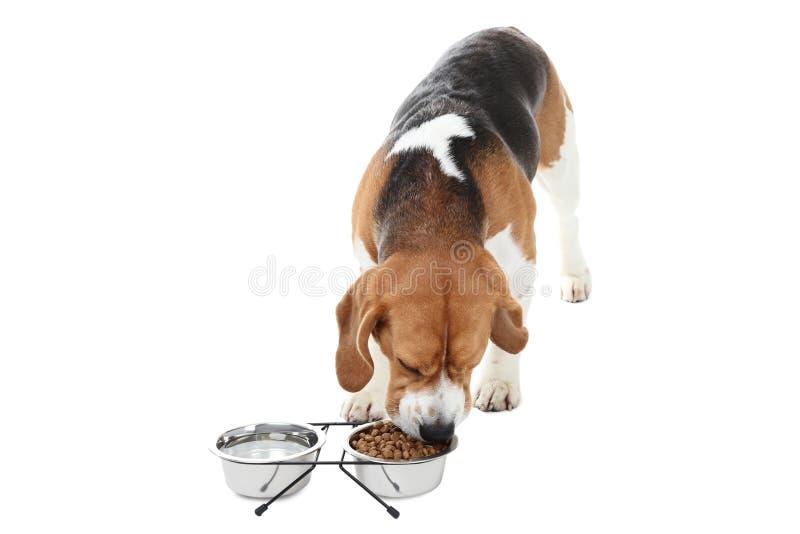 Perro del beagle que come la comida fotografía de archivo libre de regalías