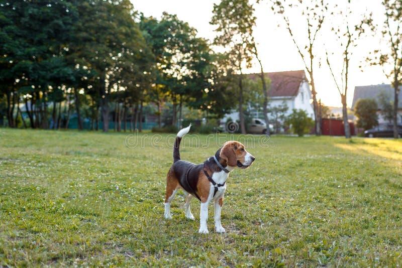 Perro del beagle que juega en hierba verde fotografía de archivo