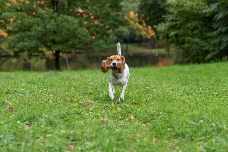 Perro del beagle que juega en la hierba con el juguete de madera Fondo del otoño fotos de archivo libres de regalías