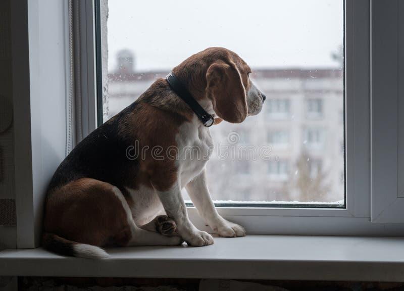 Perro del beagle que mira la nieve fuera de la ventana imágenes de archivo libres de regalías