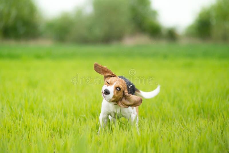 Perro del beagle que sacude su cabeza imagen de archivo libre de regalías