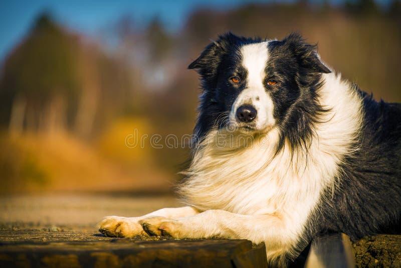 Perro del border collie imagen de archivo libre de regalías