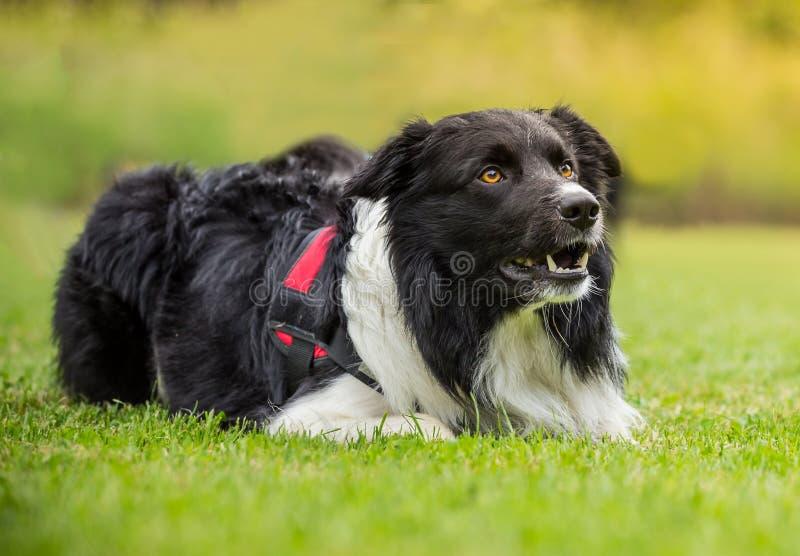 Perro del border collie al aire libre en prado de la hierba foto de archivo