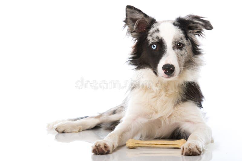 Perro del border collie con el hueso imagenes de archivo