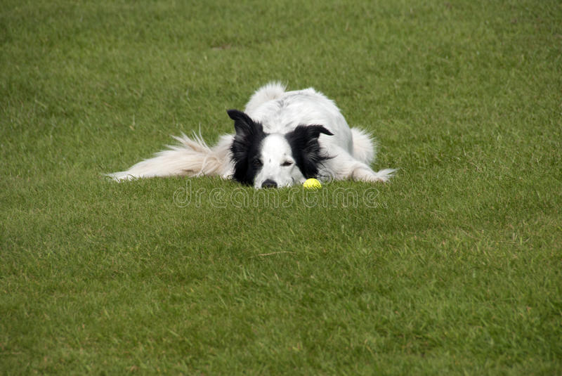 Perro del border collie con la bola imagenes de archivo