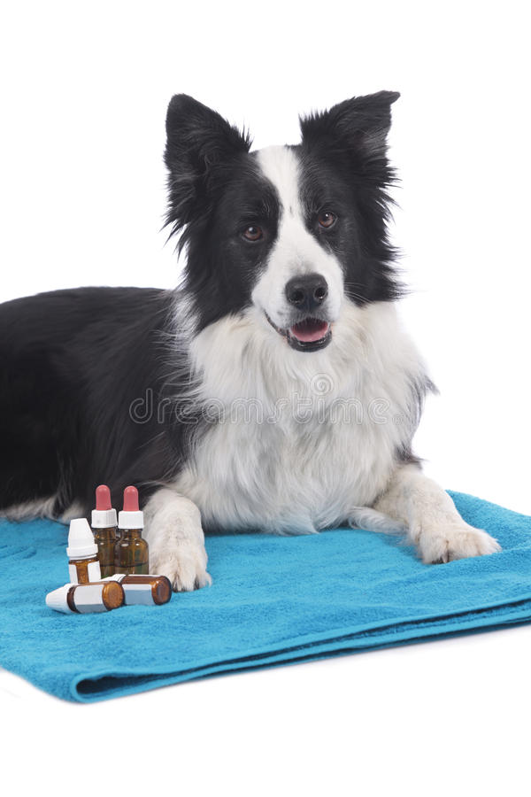 Perro del border collie con las botellas homeopáticas imagen de archivo