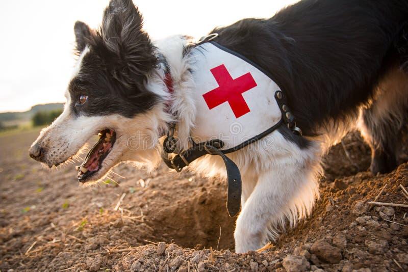 Perro del border collie del rescate afuera fotografía de archivo libre de regalías