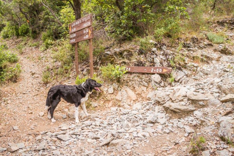Perro del border collie en cruces en la trayectoria en Córcega imagen de archivo