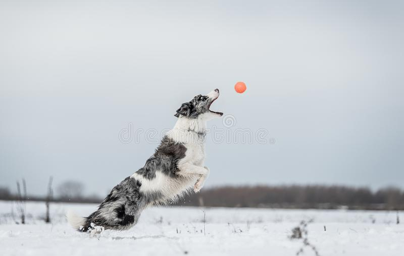 Perro del border collie en el día de inviernos nevoso de a imagen de archivo libre de regalías