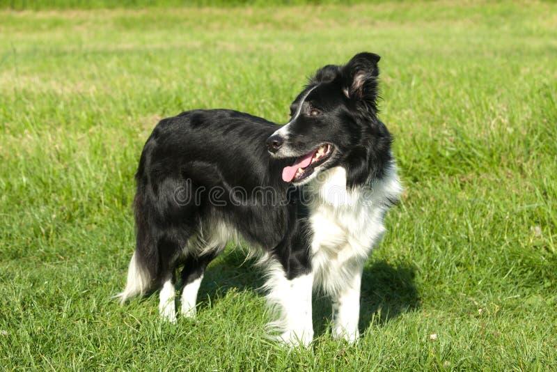Perro del border collie en la hierba fotografía de archivo libre de regalías