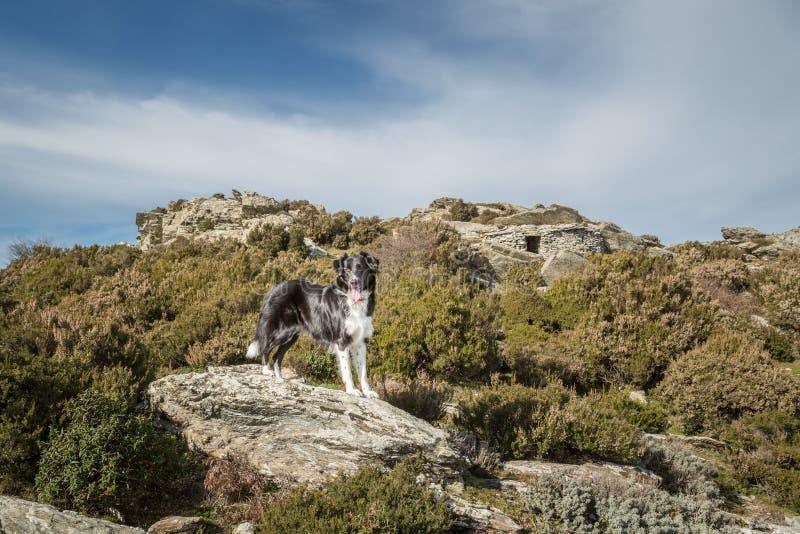 Perro del border collie en roca entre maquis en Córcega fotos de archivo libres de regalías