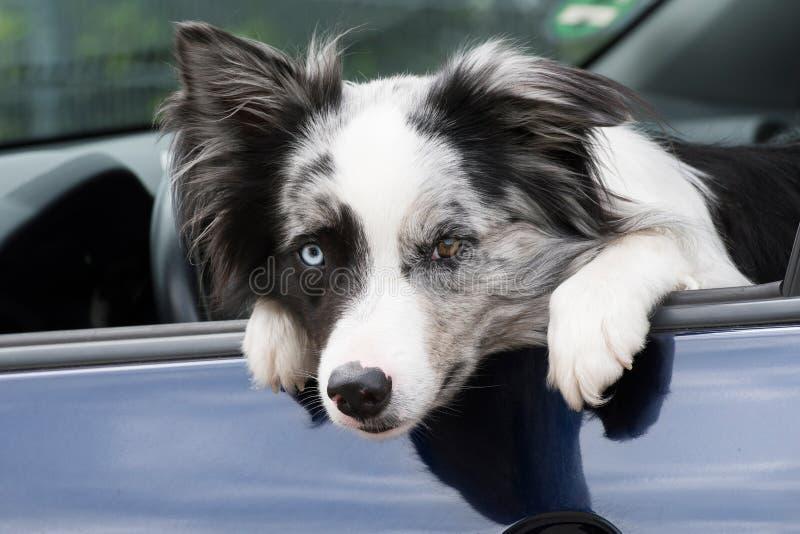 Perro del border collie en un coche foto de archivo