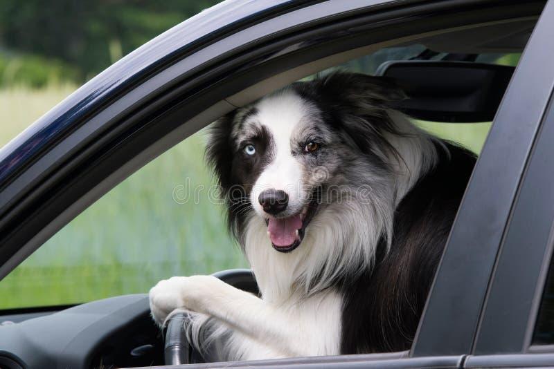 Perro del border collie en un coche foto de archivo libre de regalías