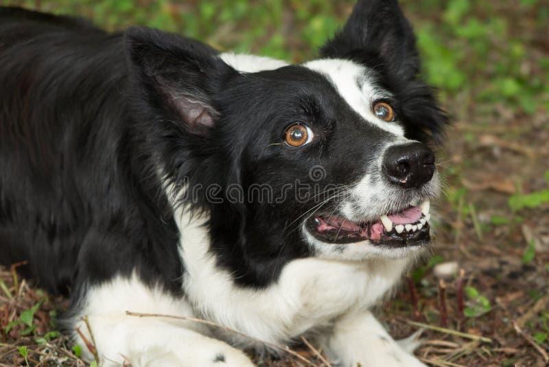Perro del border collie en una hierba afuera fotos de archivo