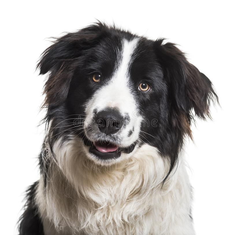 Perro del border collie, 9 meses foto de archivo