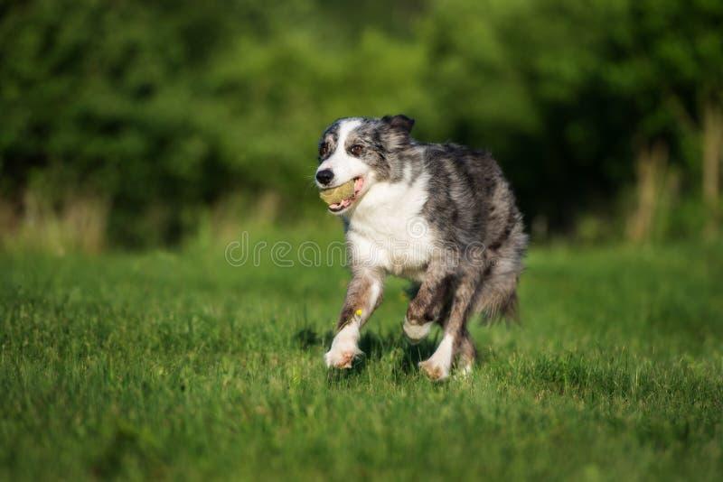 Perro del border collie que corre al aire libre fotografía de archivo
