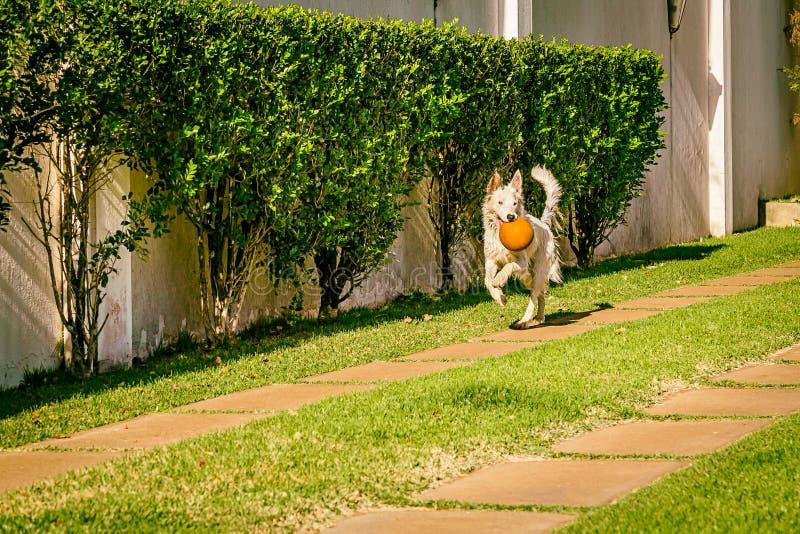 Perro del border collie que corre en la hierba foto de archivo libre de regalías