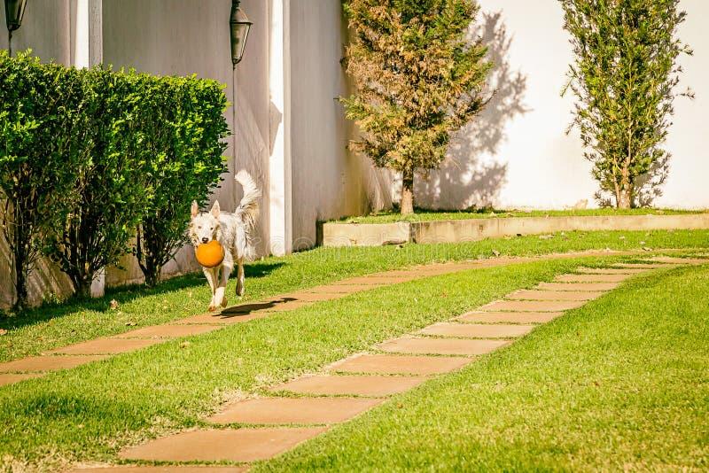 Perro del border collie que corre en la hierba fotografía de archivo libre de regalías