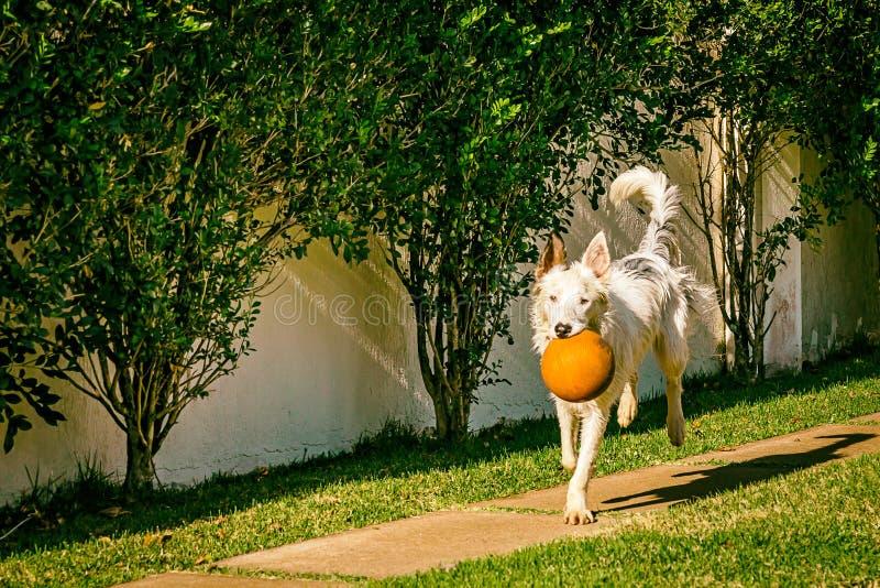 Perro del border collie que corre en la hierba imágenes de archivo libres de regalías