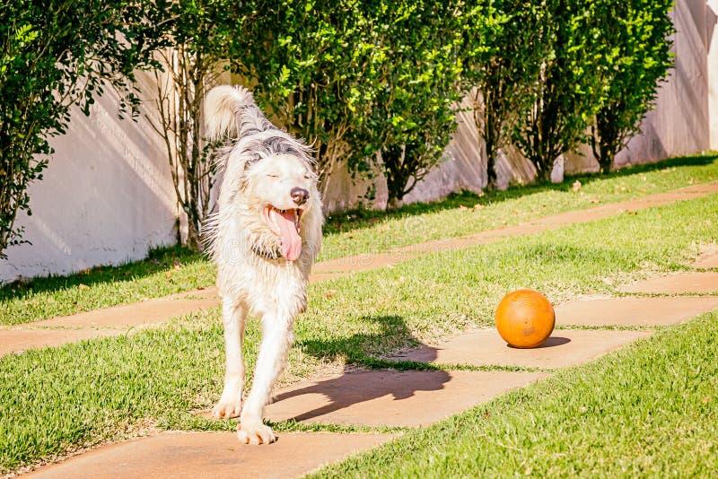 Perro del border collie que corre en la hierba fotografía de archivo