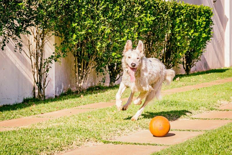 Perro del border collie que corre en la hierba foto de archivo