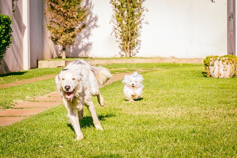 Perro del border collie que corre en la hierba fotos de archivo