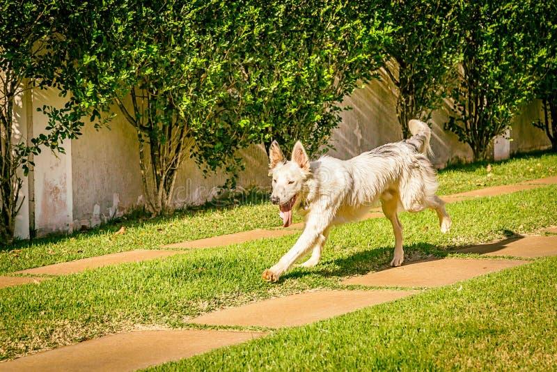 Perro del border collie que corre en la hierba imagenes de archivo