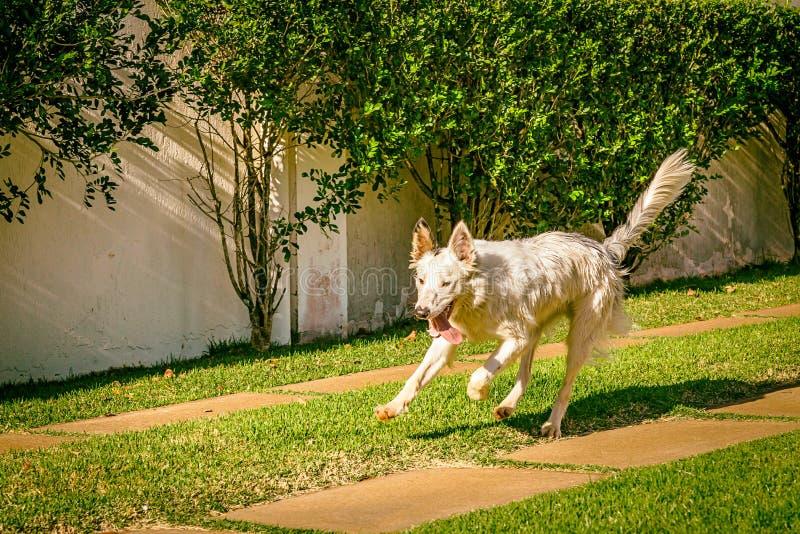 Perro del border collie que corre en la hierba imagen de archivo