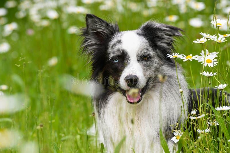 Perro del border collie que miente en prado de la flor de la margarita fotos de archivo