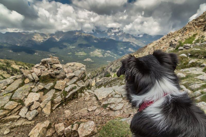 Perro del border collie que mira hacia fuera a través de las montañas corsas imagen de archivo libre de regalías