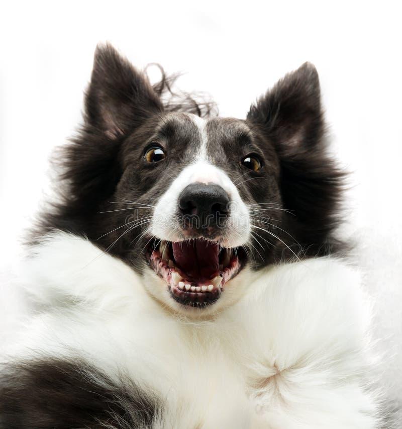 Perro del border collie que parece para arriba feliz foto de archivo libre de regalías