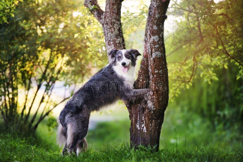 Perro del border collie que presenta al aire libre en verano imagenes de archivo