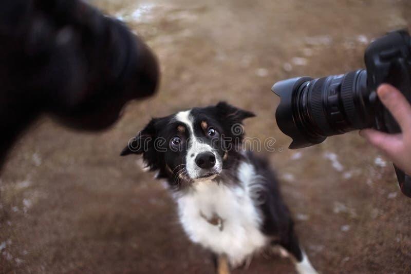 Perro del border collie que presenta delante de dos cámaras foto de archivo