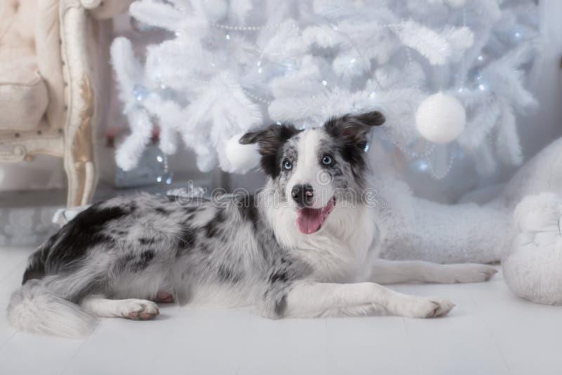 Perro del border collie que se acuesta en la Navidad blanca fotos de archivo libres de regalías