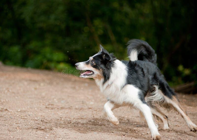 Perro del border collie que se ejecuta en el césped imagen de archivo