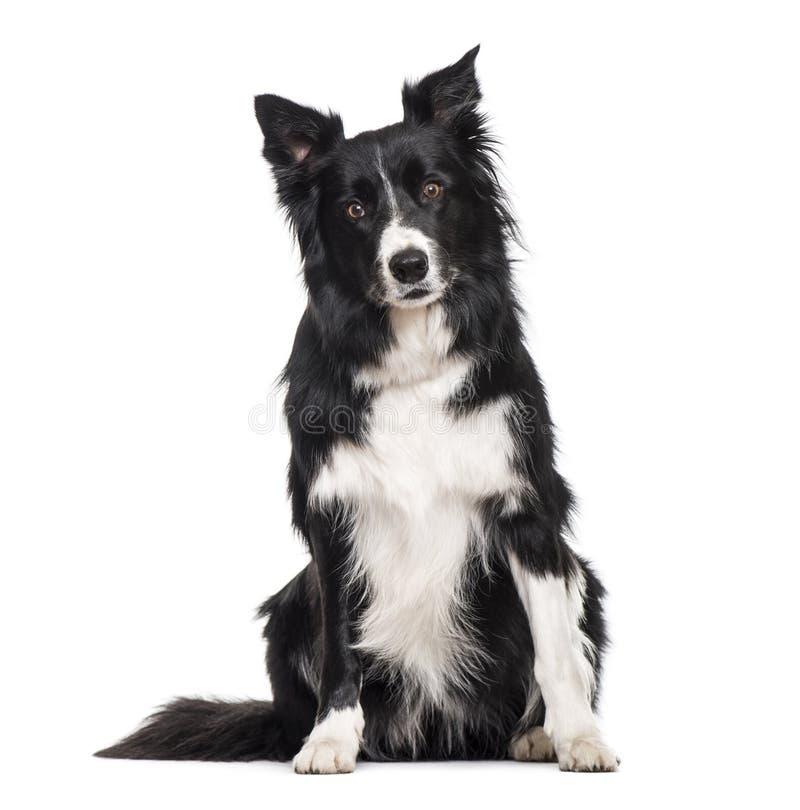 Perro del border collie que se sienta contra el fondo blanco imagen de archivo