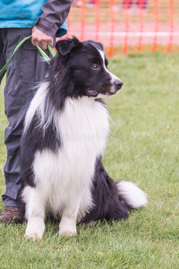 Perro del border collie que vive en Bélgica fotos de archivo