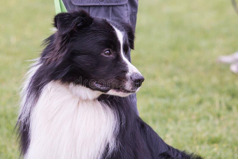Perro del border collie que vive en Bélgica imagen de archivo libre de regalías