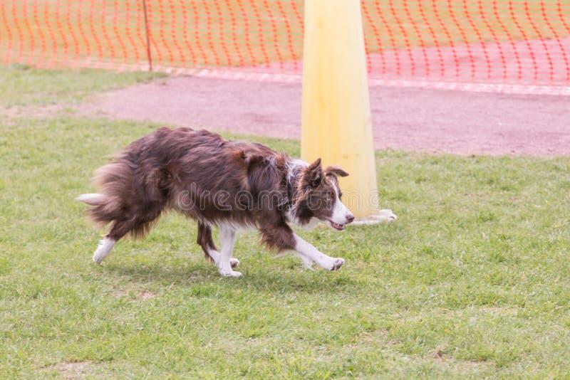 Perro del border collie que vive en Bélgica fotografía de archivo libre de regalías