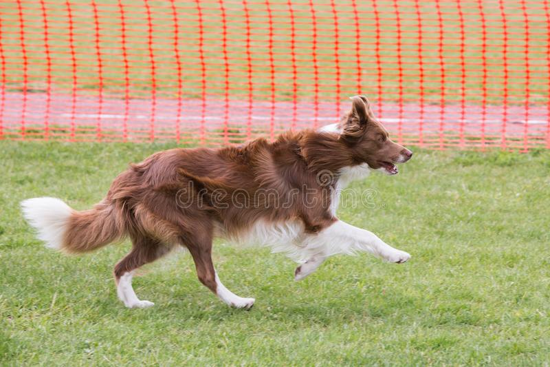Perro del border collie que vive en Bélgica imagenes de archivo