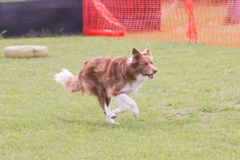 Perro del border collie que vive en Bélgica foto de archivo